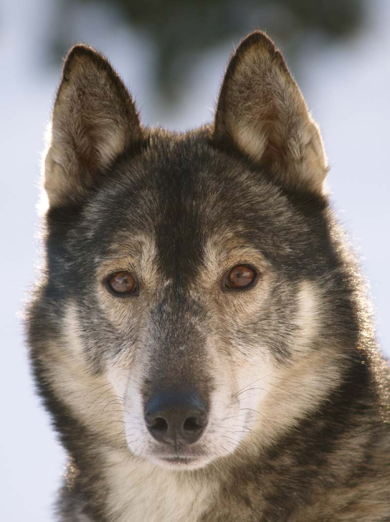 was kostet ein husky hunde rassekurzportrait sibirian. Black Bedroom Furniture Sets. Home Design Ideas